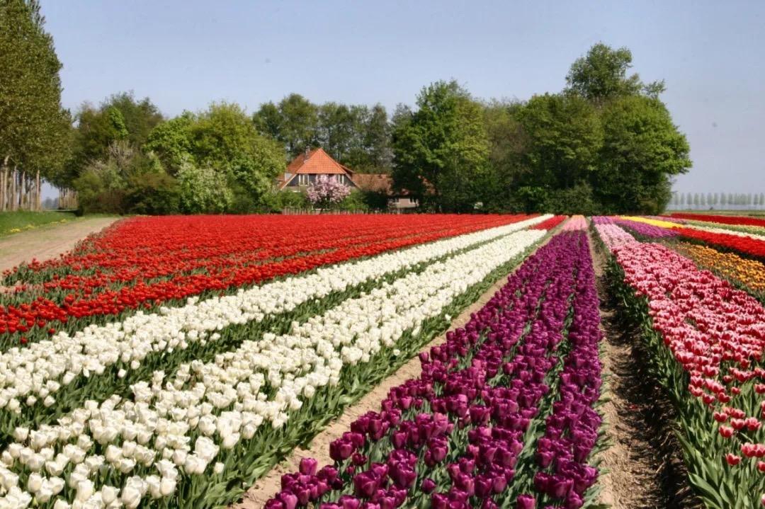 租一辆小单车,骑行荷兰4条最酷赏花路线